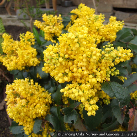 Shrubs ~ Mahonia aquifolium 'Apollo', Apollo Oregon Grape ~ Dancing Oaks Nursery and Gardens ~ Retail Nursery ~ Mail Order Nursery