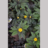 Perennials ~ Anemone ranunculoides ssp ranunculoides, Wood Anemone or Windflower ~ Dancing Oaks Nursery and Gardens