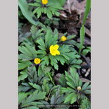 Perennials ~ Anemone ranunculoides ssp ranunculoides, Wood Anemone or Windflower ~ Dancing Oaks Nursery and Gardens ~ Retail Nursery ~ Mail Order Nursery