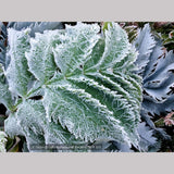 Perennials ~ Melianthus major 'Antonow's Blue' (from seed), Honeybush ~ Dancing Oaks Nursery and Gardens