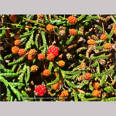 Shrubs ~ Microcachrys tetragona, Creeping Strawberry Pine ~ Dancing Oaks Nursery and Gardens ~ Retail Nursery ~ Mail Order Nursery