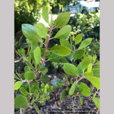 Shrubs ~ Arctostaphylos x 'Monica', Monica Manzanita ~ Dancing Oaks Nursery and Gardens ~ Retail Nursery ~ Mail Order Nursery
