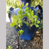 Shrubs ~ Arctostaphylos x 'Monica', Monica Manzanita ~ Dancing Oaks Nursery and Gardens