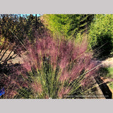 Grasses ~ Muhlenbergia 'Fast Forward', Pink Muhly Grass ~ Dancing Oaks Nursery and Gardens ~ Retail Nursery ~ Mail Order Nursery
