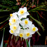 Bulbs & Tubers ~ Narcissus 'Avalanche' ~ Dancing Oaks Nursery and Gardens ~ Retail Nursery ~ Mail Order Nursery