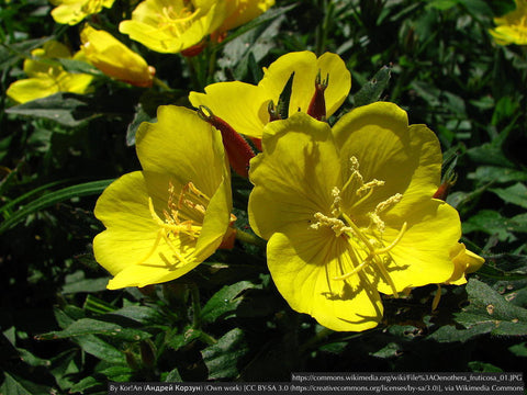 Perennials ~ Oenothera fruticosa, Narrowleaf Evening Primrose/Sundrops ~ Dancing Oaks Nursery and Gardens ~ Retail Nursery ~ Mail Order Nursery
