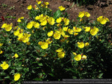 Perennials ~ Oenothera fruticosa, Narrowleaf Evening Primrose/Sundrops ~ Dancing Oaks Nursery