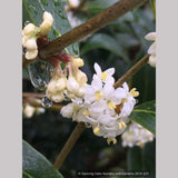 Shrubs ~ Osmanthus armatus, Holly Olive ~ Dancing Oaks Nursery and Gardens ~ Retail Nursery ~ Mail Order Nursery