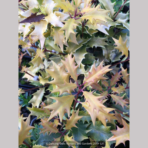 Shrubs ~ Osmanthus heterophyllus 'Ogon', Golden Japanese False Holly ~ Dancing Oaks Nursery and Gardens ~ Retail Nursery ~ Mail Order Nursery