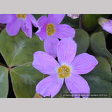 Perennials ~ Oxalis oregana, Native Wood Sorrel ~ Dancing Oaks Nursery and Gardens ~ Retail Nursery ~ Mail Order Nursery