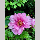 Perennials ~ Paeonia First Arrival 'Itoh', Intersectional Peony ~ Dancing Oaks Nursery and Gardens