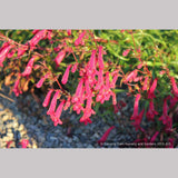 Perennials ~ Penstemon kunthii, Beard Tongue ~ Dancing Oaks Nursery and Gardens ~ Retail Nursery ~ Mail Order Nursery