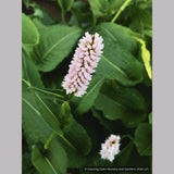 Perennials ~ Persicaria bistorta 'Superba' (formerly 'Superbum'), Fleeceflower ~ Dancing Oaks Nursery and Gardens ~ Retail Nursery ~ Mail Order Nursery