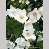Shrubs ~ Philadelphus 'Belle Etoile', Mock Orange ~ Dancing Oaks Nursery and Gardens ~ Retail Nursery ~ Mail Order Nursery