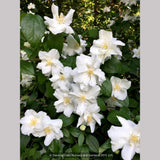 Shrubs ~ Philadelphus 'Polar Star', Mock Orange ~ Dancing Oaks Nursery and Gardens