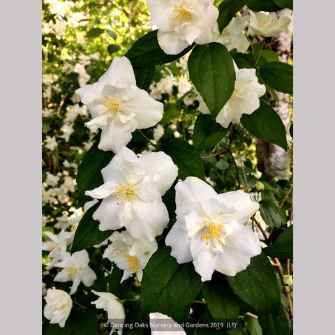 Shrubs ~ Philadelphus 'Polar Star', Mock Orange ~ Dancing Oaks Nursery and Gardens ~ Retail Nursery ~ Mail Order Nursery