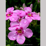Perennials ~ Phlox 'Star of Heaven', Moss Phlox ~ Dancing Oaks Nursery and Gardens