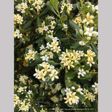 Shrubs ~ Pittosporum tobira 'Tall n Tough', Japanese Mock Orange ~ Dancing Oaks Nursery and Gardens ~ Retail Nursery ~ Mail Order Nursery