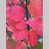 Trees ~ Populus tremula 'Erecta', Upright Swedish Aspen ~ Dancing Oaks Nursery and Gardens ~ Retail Nursery ~ Mail Order Nursery