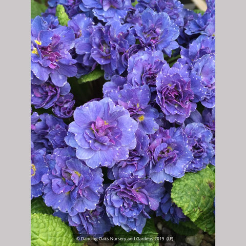 Perennials ~ Primula x acaulis 'Blueberry Swirl', Primrose ~ Dancing Oaks Nursery and Gardens