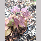 Perennials ~ Epimedium grandiflorum 'Queen Esta', Barrenwort ~ Dancing Oaks Nursery and Gardens