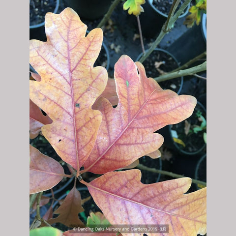 Trees ~ Quercus x warei 'Chimney Fire', Chimney Fire Oak ~ Dancing Oaks Nursery and Gardens