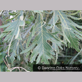 Trees ~ Quercus dentata 'Pinnatifida', Cutleaf Emperor Oak ~ Dancing Oaks Nursery and Gardens ~ Retail Nursery ~ Mail Order Nursery