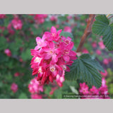 Shrubs ~ Ribes sanguineum 'Pulborough Scarlet' (syn. 'Pulsbo Red'), Flowering Currant ~ Dancing Oaks Nursery and Gardens ~ Retail Nursery ~ Mail Order Nursery