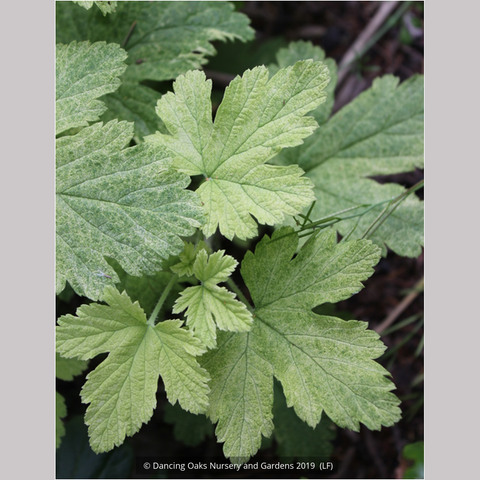 Shrubs ~ Ribes 'Moondust', Variegated Flowering Currant ~ Dancing Oaks Nursery and Gardens ~ Retail Nursery ~ Mail Order Nursery