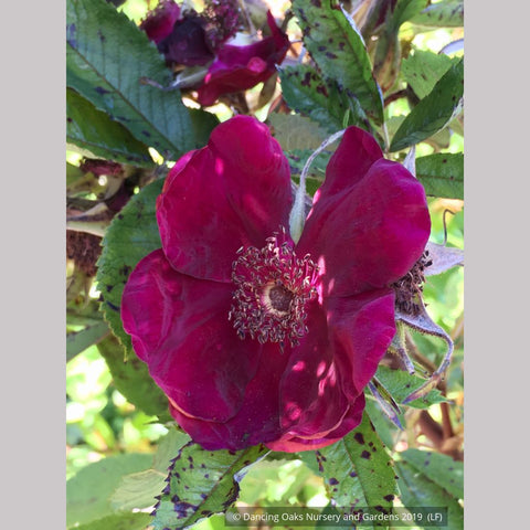 Shrubs ~ Rosa 'Basye's Purple', Basye's Purple Shrub Rose ~ Dancing Oaks Nursery and Gardens ~ Retail Nursery ~ Mail Order Nursery