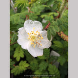 Shrubs ~ Rosa sericea ssp. omeiensis f. pteracantha, Winged Rose, Wingthorn Rose ~ Dancing Oaks Nursery and Gardens ~ Retail Nursery ~ Mail Order Nursery
