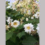 Shrubs ~ Rubus parviflorus 'Flore Pleno', Double Thimble Berry ~ Dancing Oaks Nursery and Gardens ~ Retail Nursery ~ Mail Order Nursery