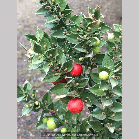 Ruscus aculeatus 'Wheeler's Variety', European Butcher's Broom - Dancing Oaks Nursery and Gardens