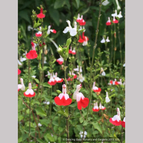 Perennials ~ Salvia microphylla 'Hot Lips' ~ Dancing Oaks Nursery and Gardens ~ Retail Nursery ~ Mail Order Nursery