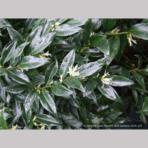 Shrubs ~ Sarcococca confusa, Sweet Box ~ Dancing Oaks Nursery and Gardens ~ Retail Nursery ~ Mail Order Nursery