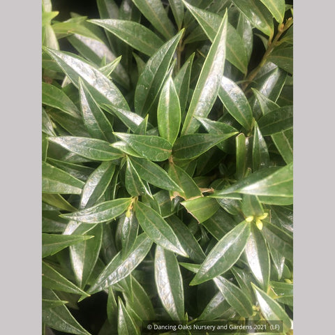Shrubs ~ Sarcococca Fragrant Valley™ 'Sarsid1' 19942, Sweet Box ~ Dancing Oaks Nursery and Gardens ~ Retail Nursery ~ Mail Order Nursery