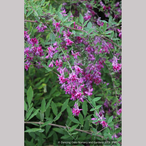 Shrubs ~ Lespedeza thunbergii 'Spring Grove', Bush Clover ~ Dancing Oaks Nursery and Gardens ~ Retail Nursery ~ Mail Order Nursery