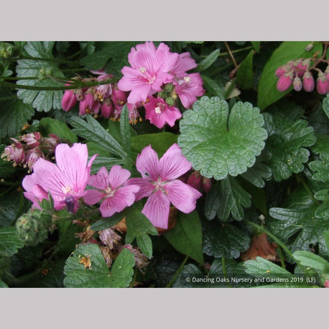 Perennials ~ Sidalcea malviflora 'Palustre', False Mallow ~ Dancing Oaks Nursery and Gardens ~ Retail Nursery ~ Mail Order Nursery