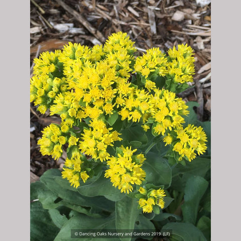 Perennials ~ Solidago rigida humilis 'Golden Rocket', Goldenrod ~ Dancing Oaks Nursery and Gardens ~ Retail Nursery ~ Mail Order Nursery
