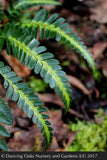 Ferns ~ Arachniodes simplicior 'Variegata', Indian Holly Fern ~ Dancing Oaks Nursery