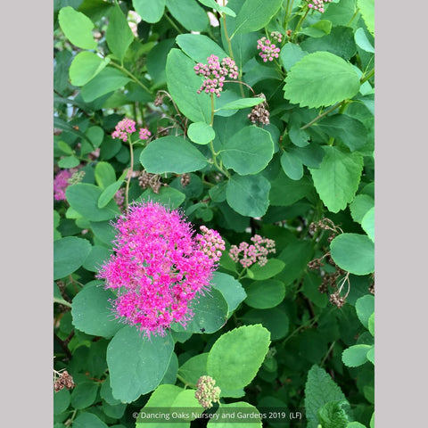 Shrubs ~ Spiraea densiflora (syn. S. splendens), Subalpine Spirea or Rosy Spiraea ~ Dancing Oaks Nursery and Gardens
