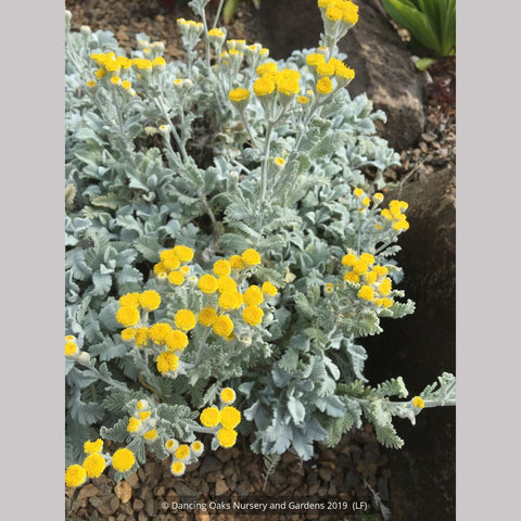 Perennials ~ Tanacetum densum ssp. amani, Partridge Feather ~ Dancing Oaks Nursery and Gardens ~ Retail Nursery ~ Mail Order Nursery