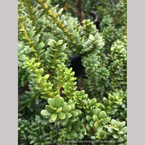 Shrubs ~ Taxus baccata 'Amersfoort', English Yew ~ Dancing Oaks Nursery and Gardens ~ Retail Nursery ~ Mail Order Nursery