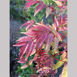 Trees ~ Toona sinensis 'Flamingo', Chinese Mahogany ~ Dancing Oaks Nursery and Gardens