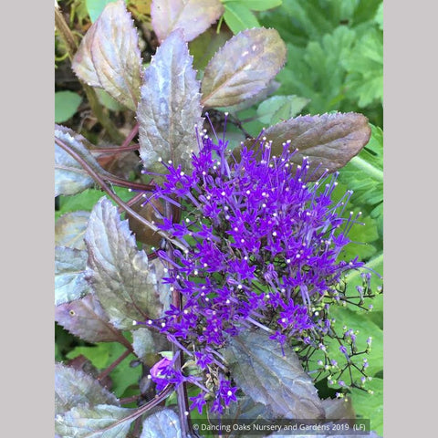 Perennials ~ Trachelium caeruleum, Blue Throatwort ~ Dancing Oaks Nursery and Gardens ~ Retail Nursery ~ Mail Order Nursery
