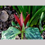 Perennials ~ Trillium kurabayashii, NW Native Trillium ~ Dancing Oaks Nursery and Gardens ~ Retail Nursery ~ Mail Order Nursery