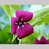 Perennials ~ Trillium vaseyi, Sweet Beth ~ Dancing Oaks Nursery and Gardens ~ Retail Nursery ~ Mail Order Nursery
