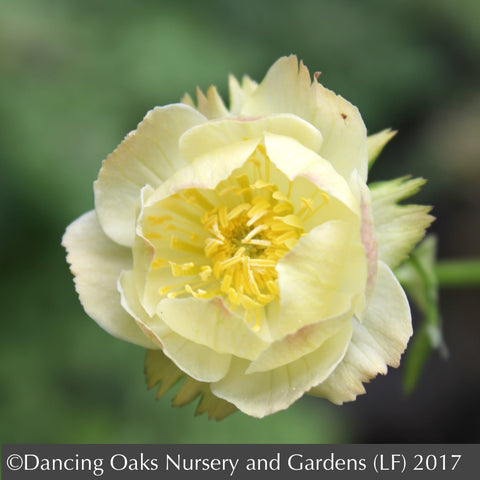 Perennials ~ Trollius x cultorum 'Alabaster', Globeflower ~ Dancing Oaks Nursery