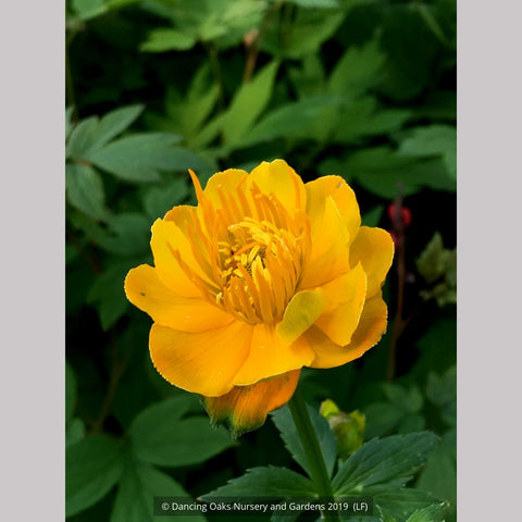 Perennials ~ Trollius chinensis 'Golden Queen', Globeflower ~ Dancing Oaks Nursery and Gardens