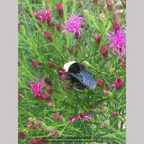 Perennials ~ Vernonia lettermanii 'Iron Butterfly', Ironweed ~ Dancing Oaks Nursery and Gardens